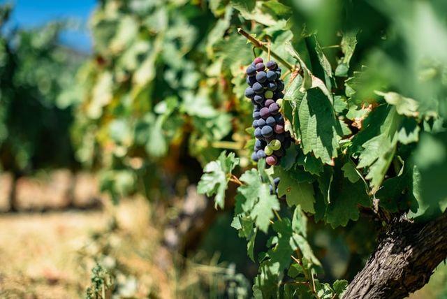 Tros druiven in Douro