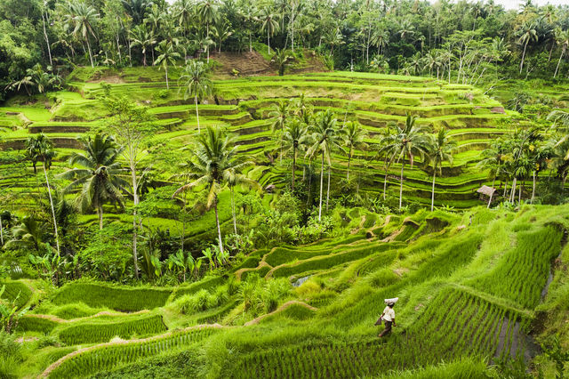Rijstterrassen bij Ubud, Bali