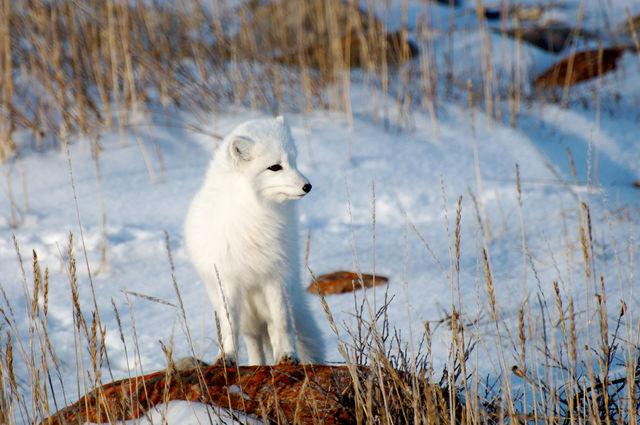 Sneeuwvos, Manitoba