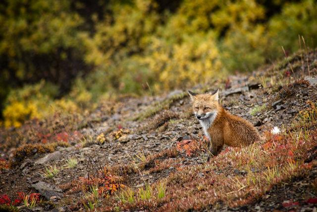 Vos in Denali National Park