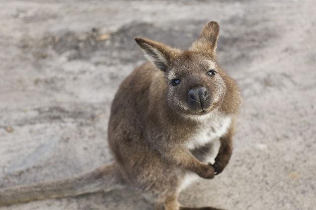 Wallaby, Coles Bay