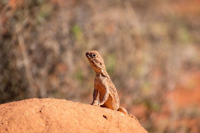 Hagedis, Uluru