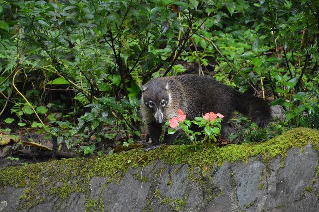 Coati in Monteverde