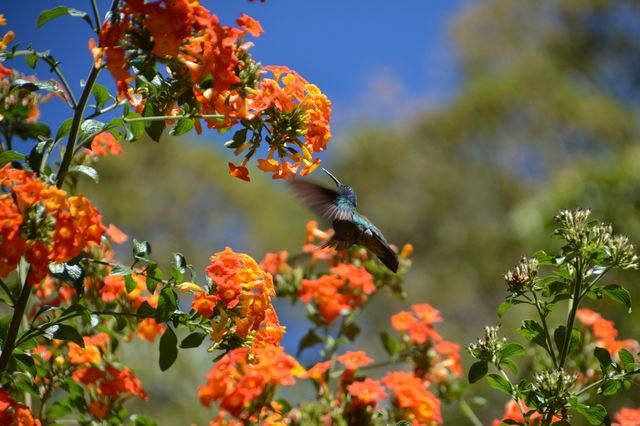 Kolibrie in San Gerardo de Dota