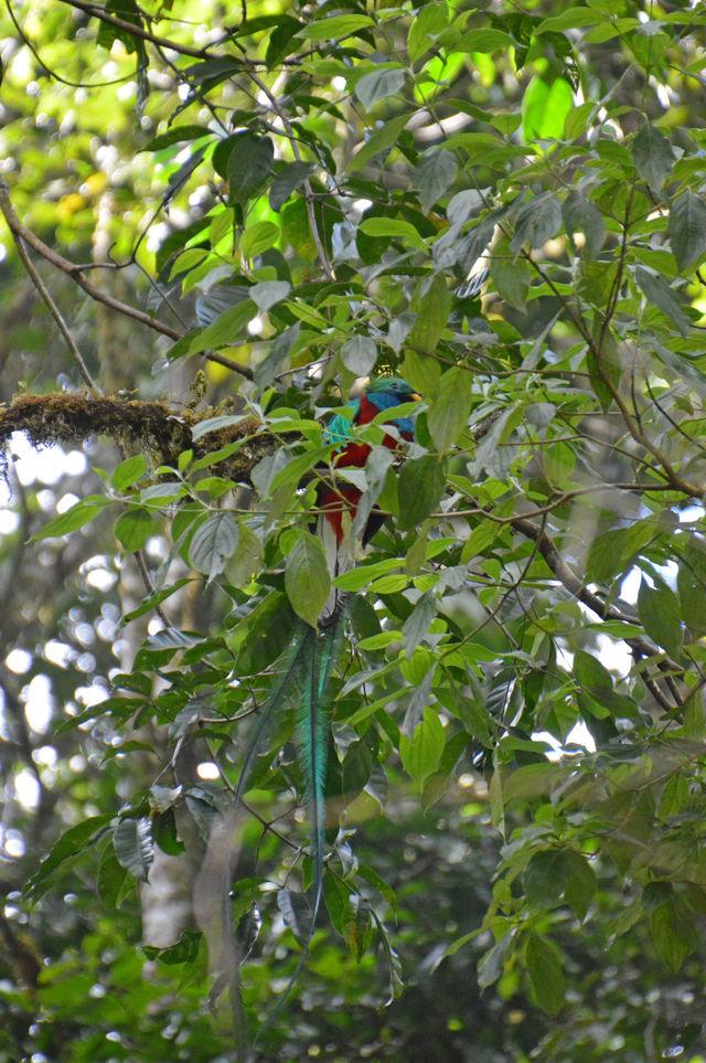 Quetzal in San Gerardo de Dota