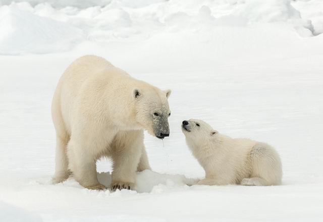 IJsberen op Spitsbergen