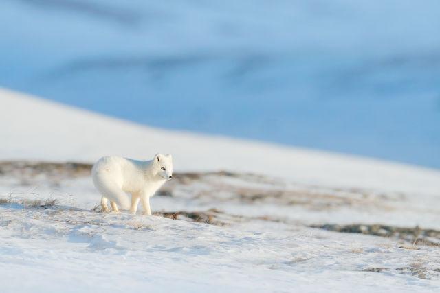 Poolvosje op Spitsbergen