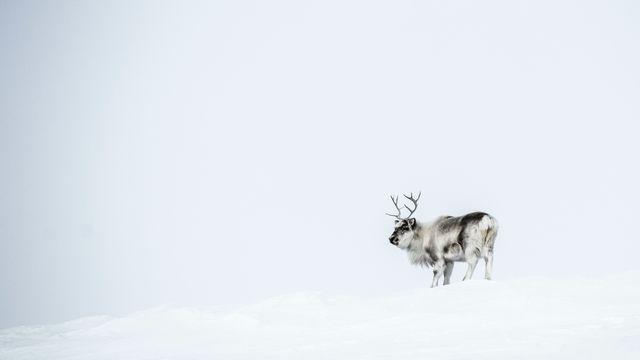 Rendier op Spitsbergen