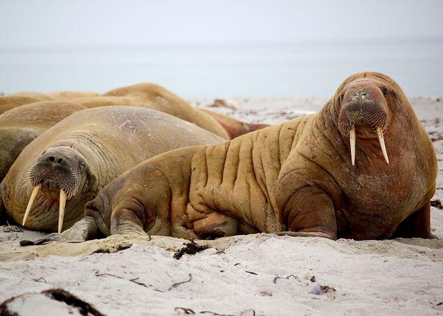 Walrussen bij Smeerenburgbreen