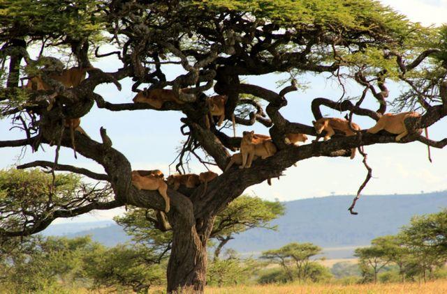 Leeuwen in de bomen van de Serengeti