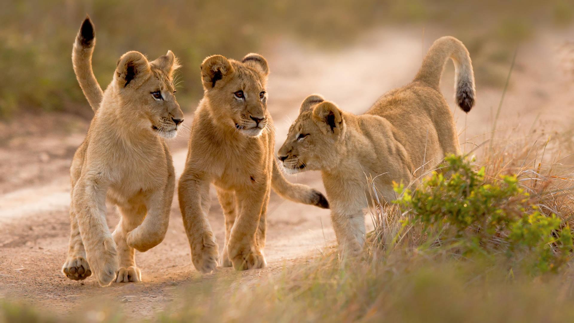 Leeuwtjes in het Kariega Game Reserve