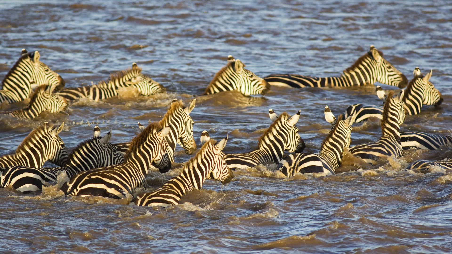Migratie van zebra's in de Masai Mara
