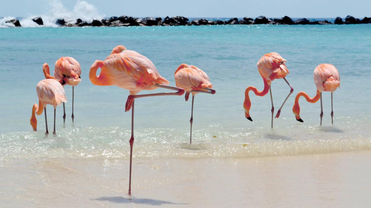 Flamingo's op Aruba
