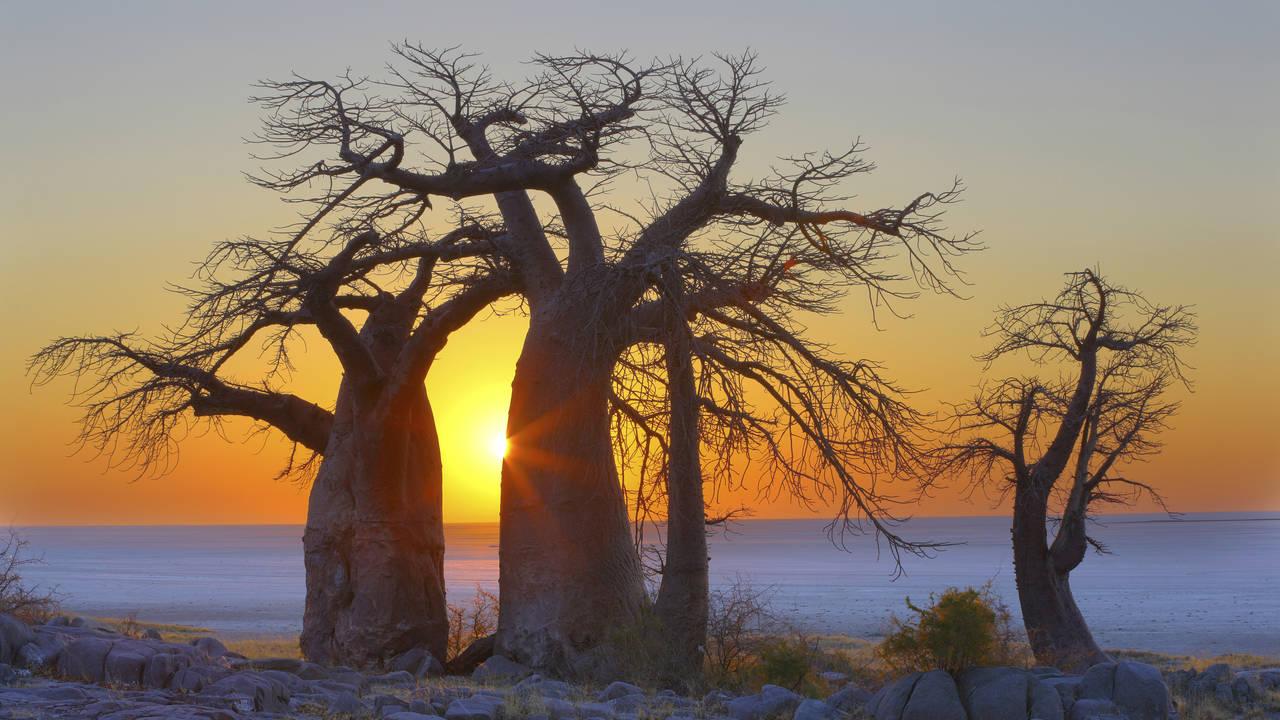 Baobab bomen Kubu Island Makgadikgadi Pans