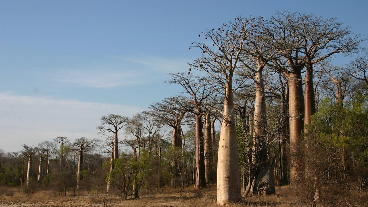 Baobab bomen Morondava