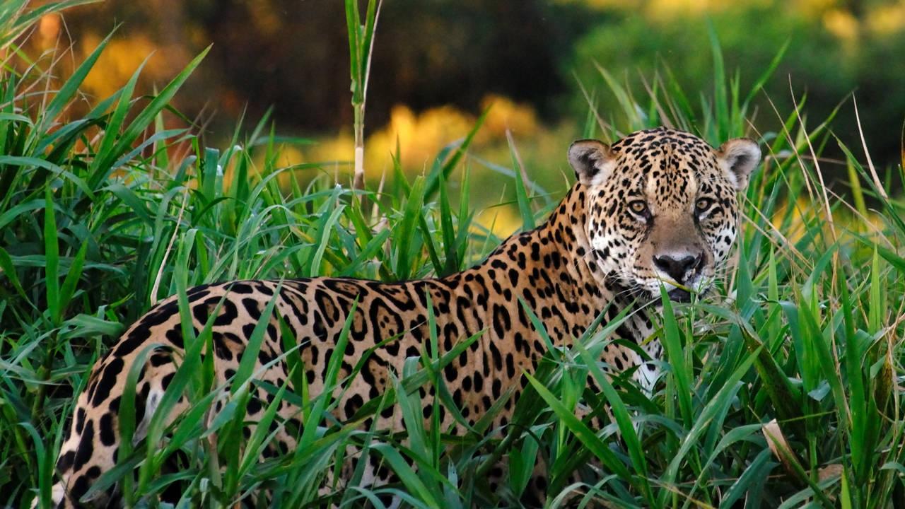 Jaguar in de Pantanal