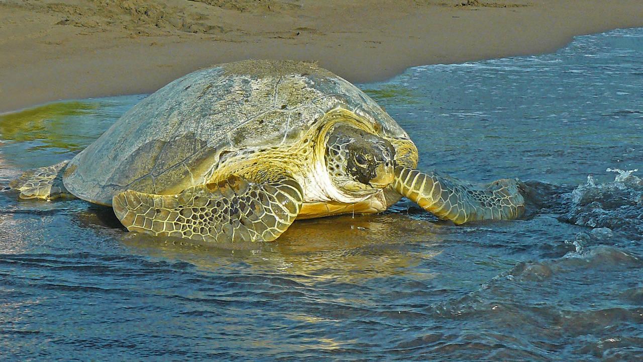 Schildpad, Tortuguero