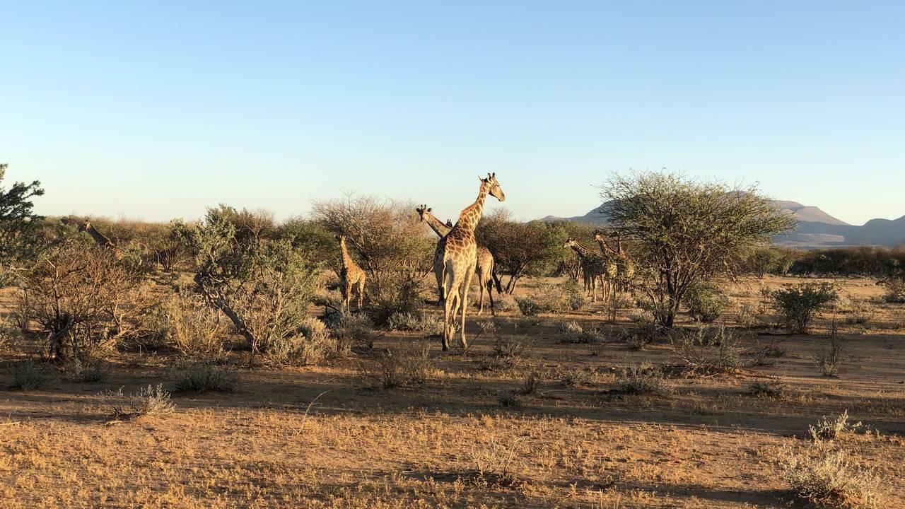 Giraffen, Namibië