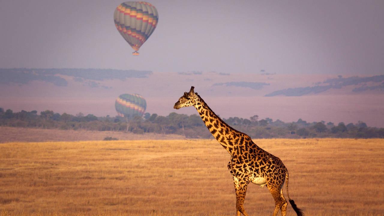 Giraf in Kenia