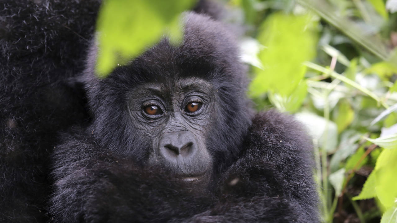 Gorilla baby in Oeganda