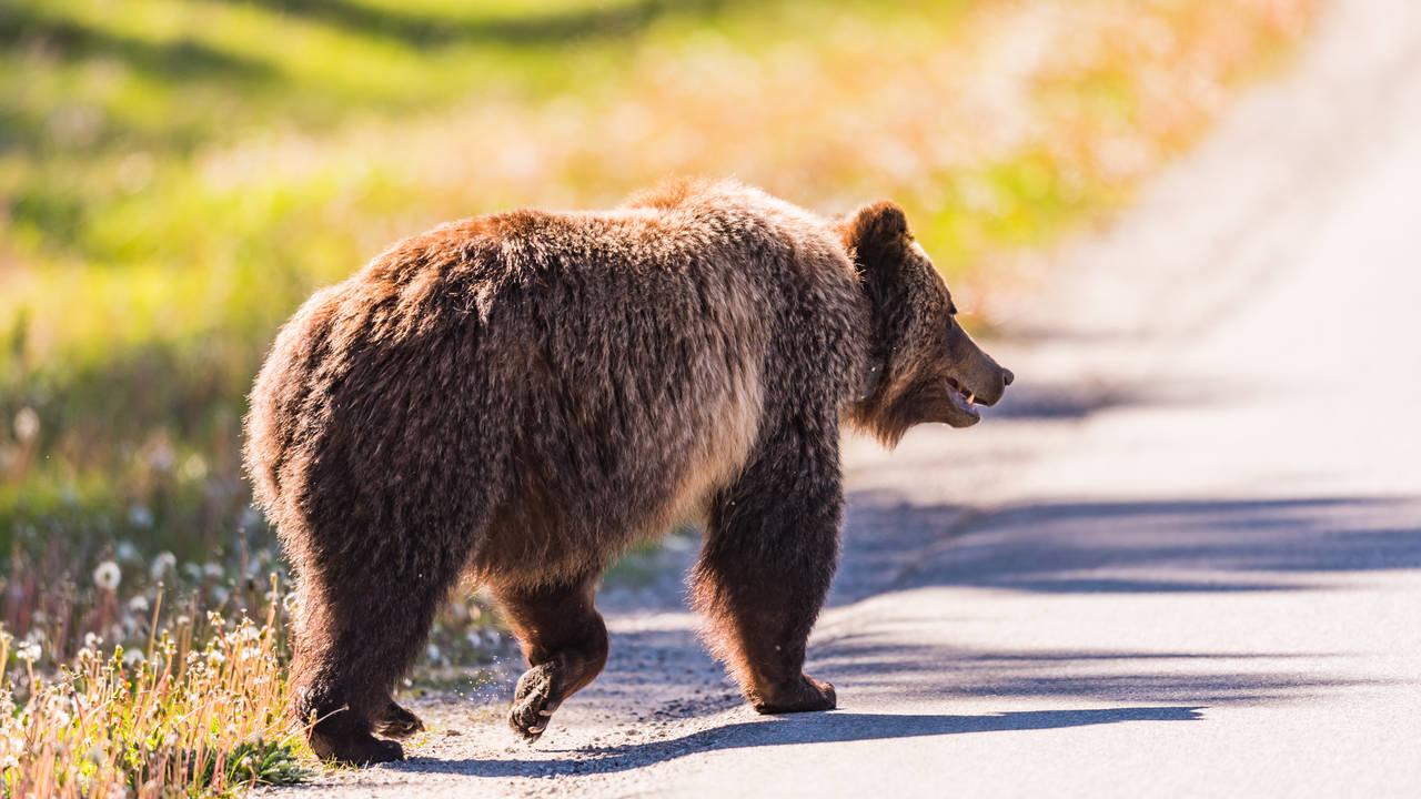 Grizzlybeer in Banff National Park