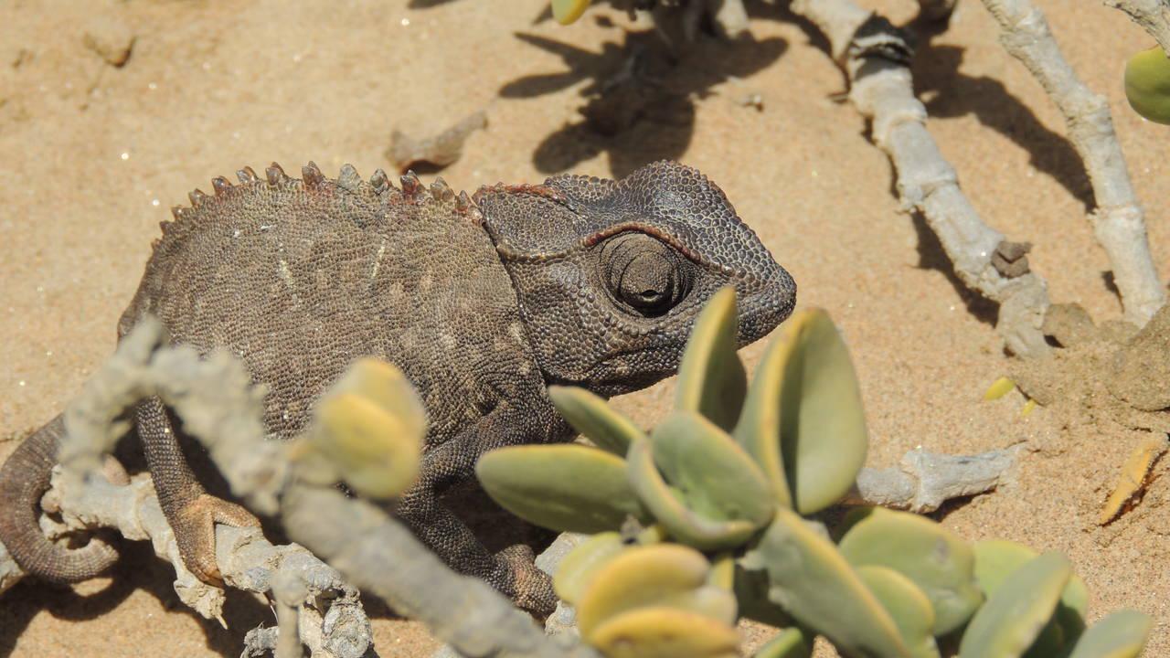Kameleon in de woestijn bij Swakopmund