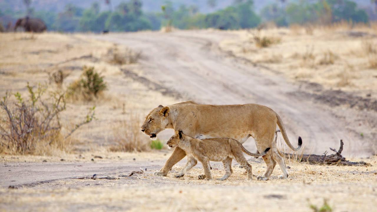 Leeuw in Ruaha National Park