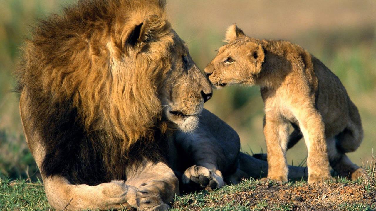 Leeuw met welpje in Kenia