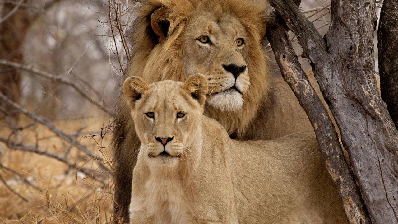 Leeuwen in Botswana
