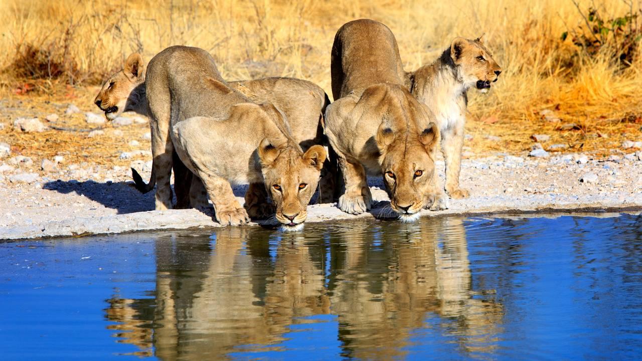 Leeuwen in Etosha National Park