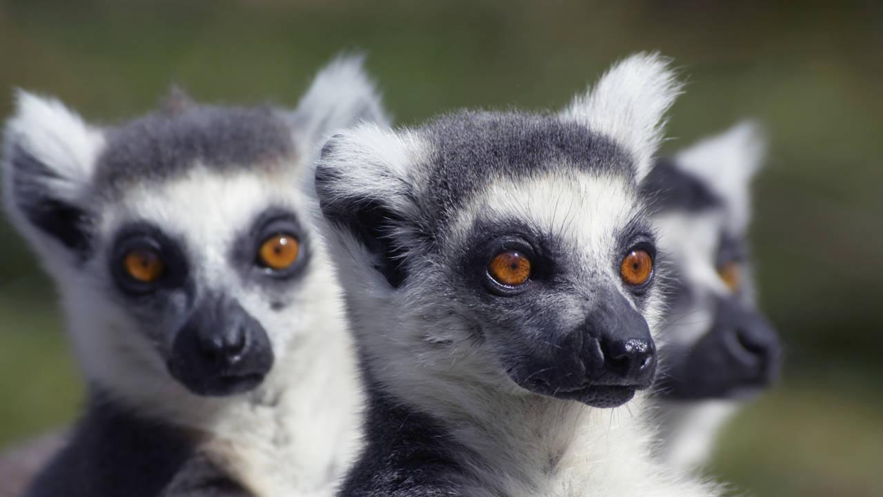 Lemuren in Madagaskar