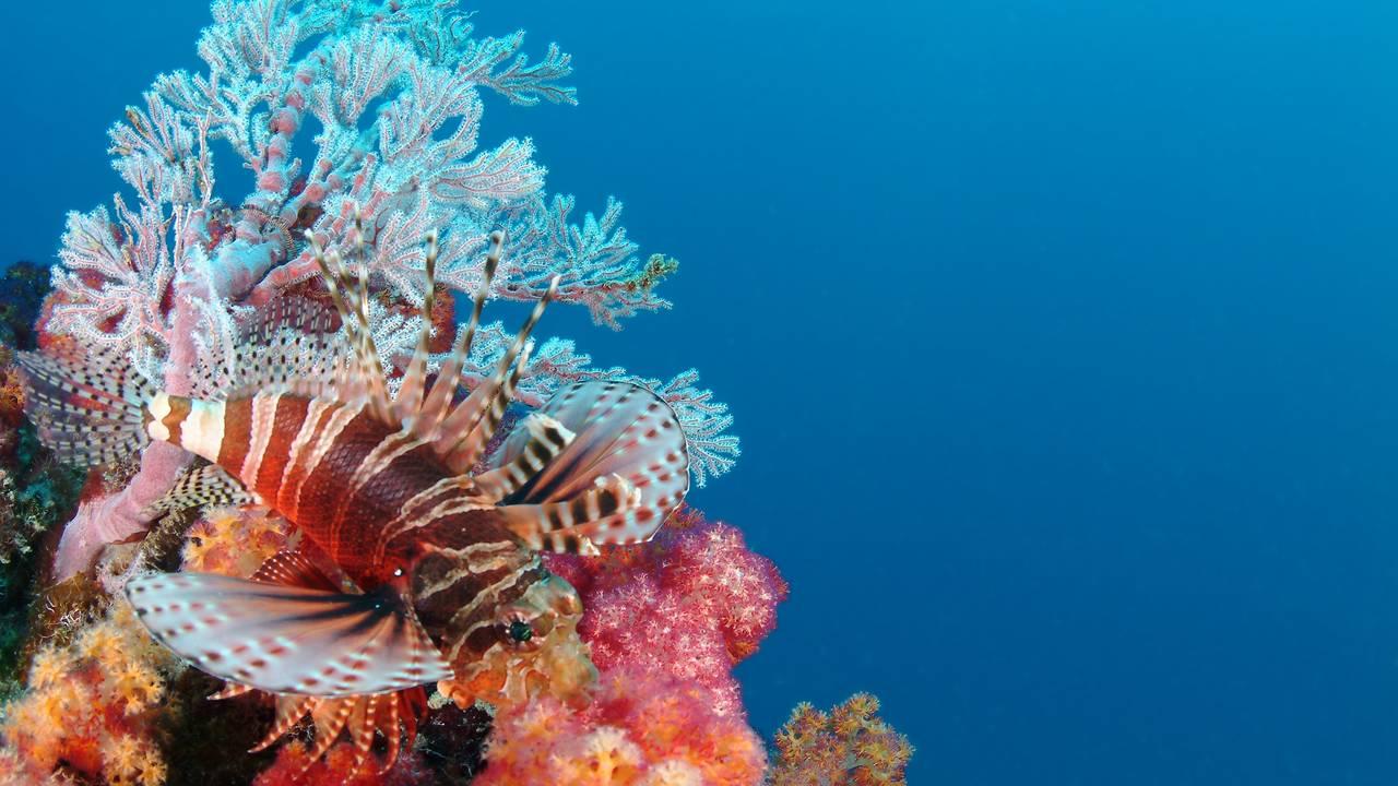 Leeuwenvis in de Seychellen