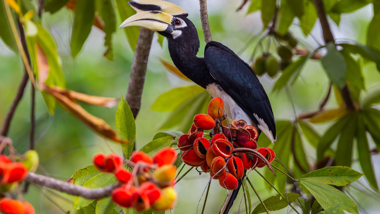 Neushoornvogel Borneo