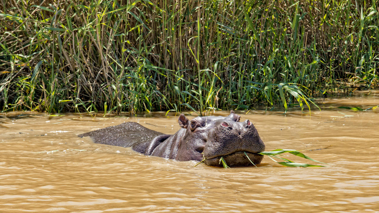 Nijlpaard in St Lucia