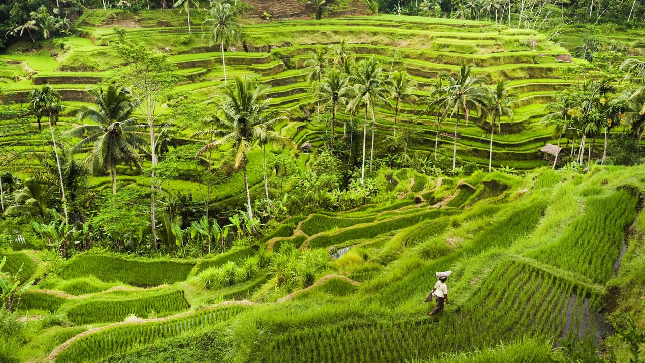 Rijstterrassen omgeving van Ubud, Bali
