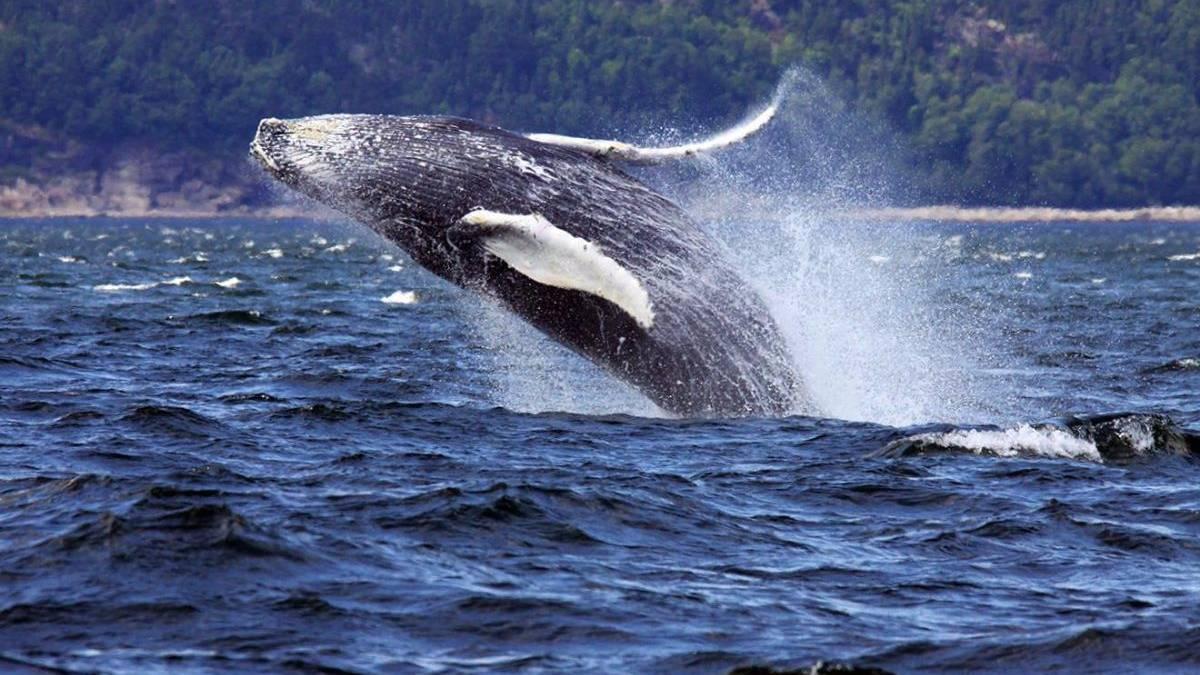 Walvis bij Tadoussac