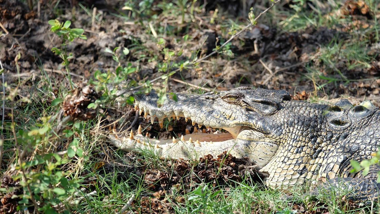 Krokodil in Kakadu