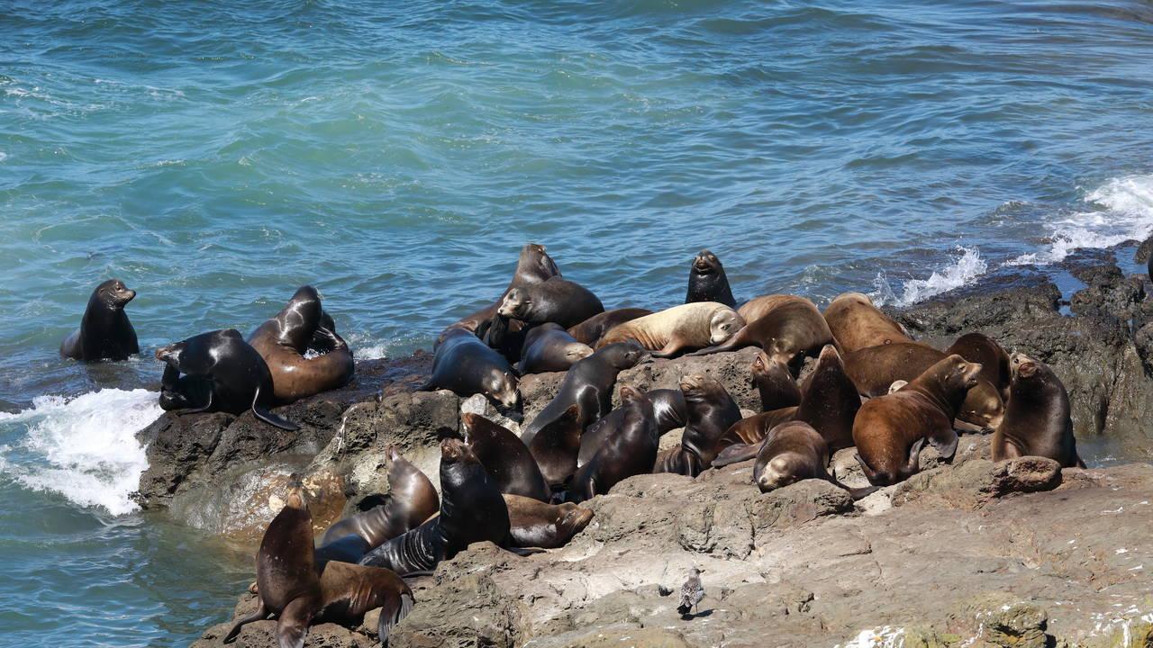 Zeeleeuwen bij Coos Bay