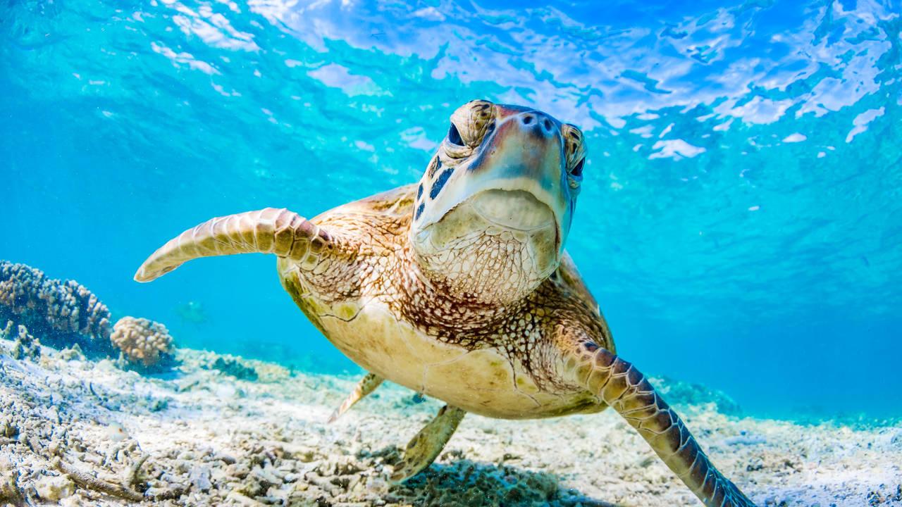 Zeeschildpad, Great Barrier Reef