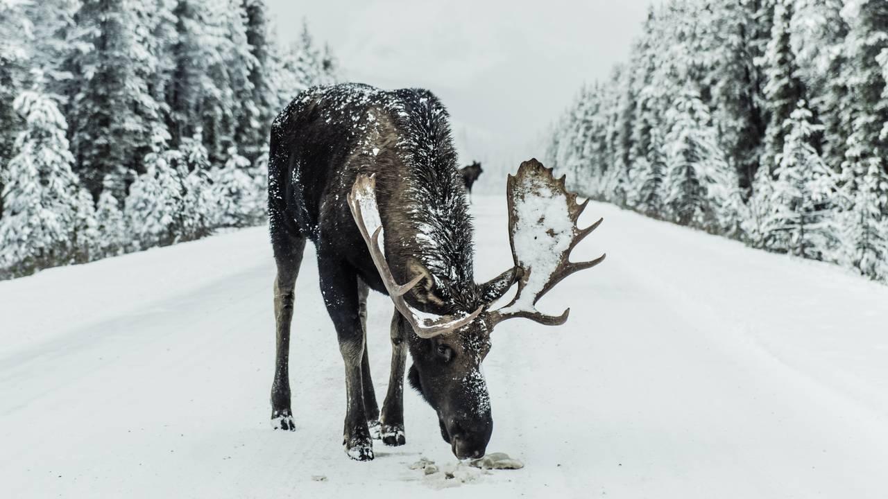 Eland op de weg in Jasper National Park