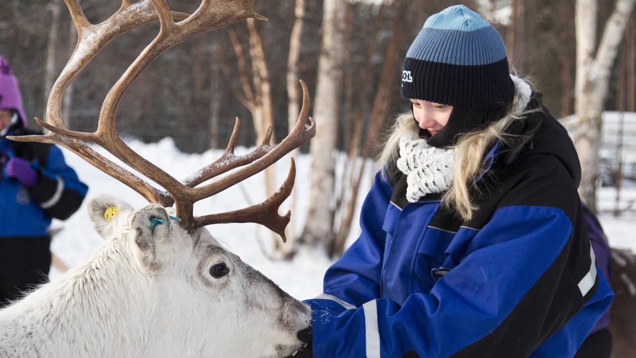 Rendier, Fins Lapland