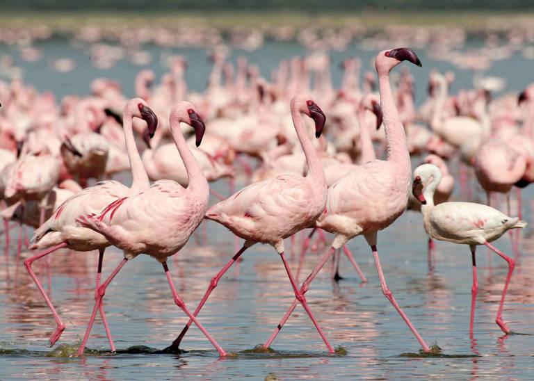 Flamingo's in Lake Naivasha