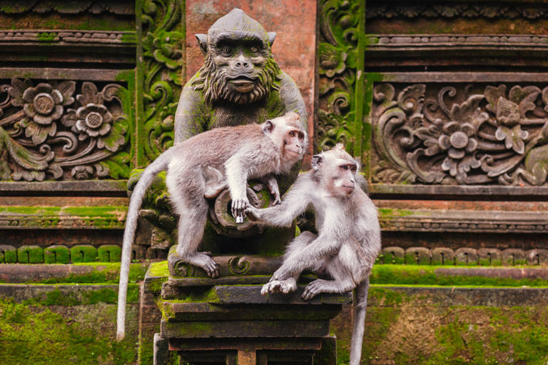 Aapjes bij Ubud, Bali