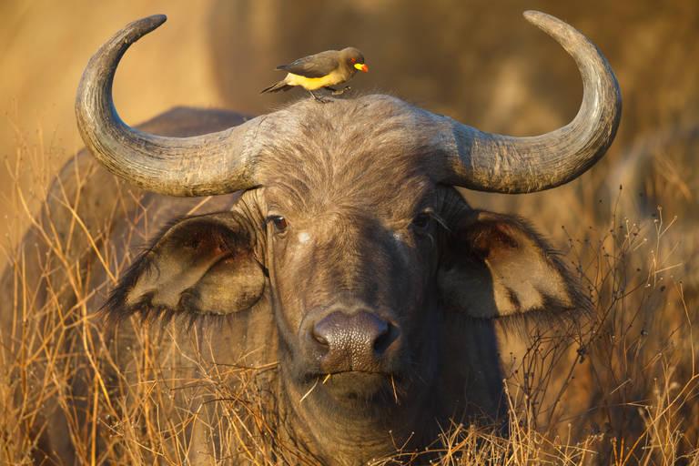 Een buffel met vogel in Krugerpark