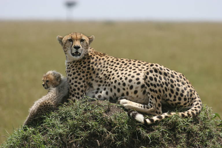 Cheetah familie in Serengeti National Park