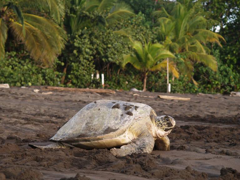Zeeschildpad bij Tortuguero