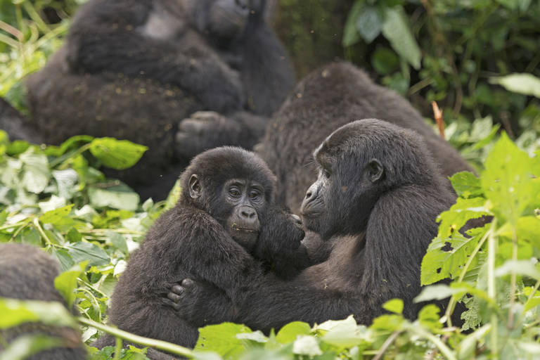 Gorilla familie in Bwindi Impenetrable Forest