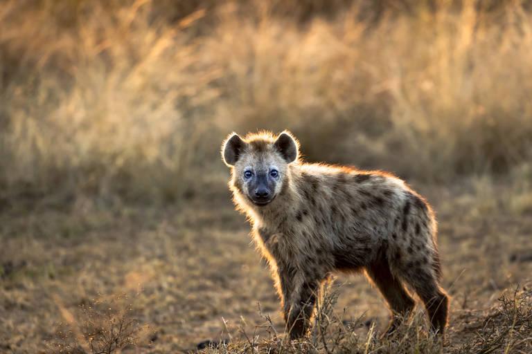 Hyena in Serengeti National Park