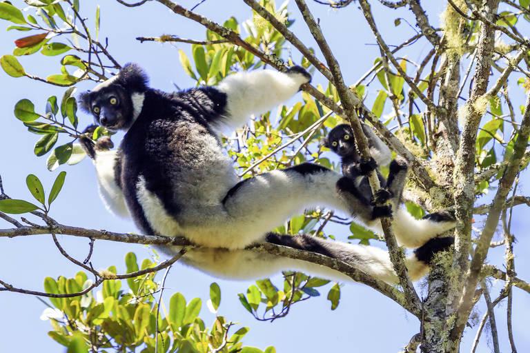 Indri Indri Lemuren in Madagascar