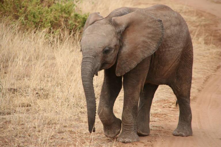 Jonge olifant in Samburu National Park